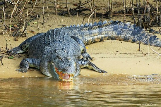 Crocodile Express Daintree River Cruises : Sunbathing