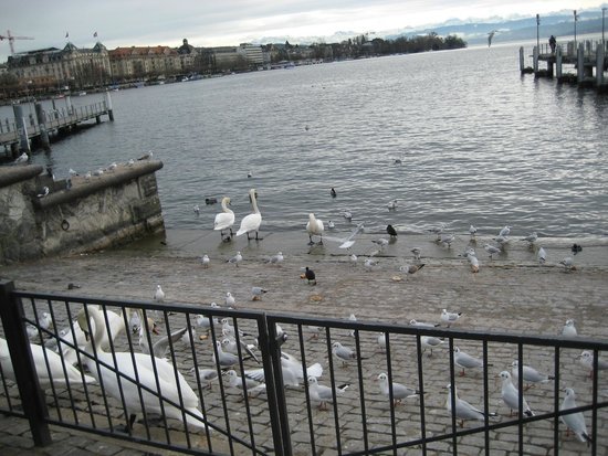 Drei Konige Hotel Lucerne: Лебеди на берегу