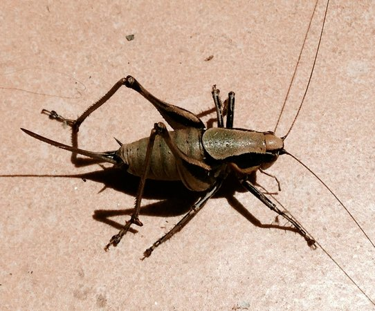 Hotel Di Tania: You will see lots of these crickets around this hotel