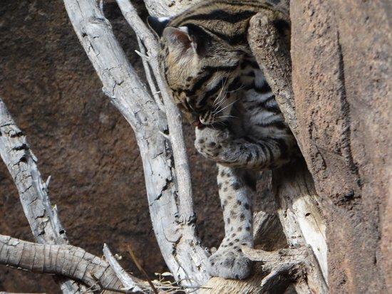 Arizona-Sonora Desert Museum: Just like a housecat!