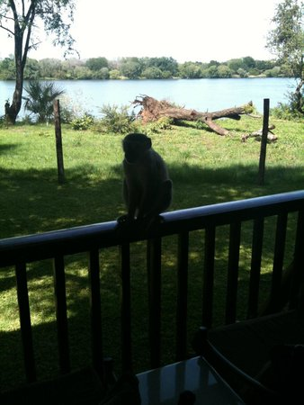 The David Livingstone Safari Lodge & Spa: A naughty monkey shortly after burglarizing wine from my room
