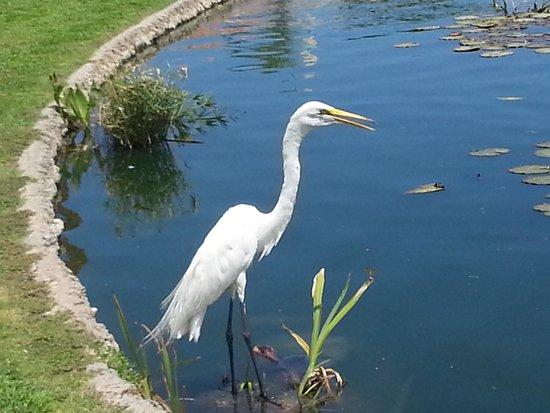 Desert Breezes Resort: The permanent resident Egret