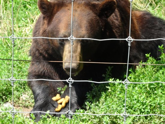 Brantford Twin Valley Zoo: Bear eating Bear pellets bought at the gift store