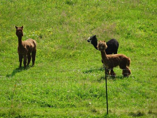 Brantford Twin Valley Zoo: Alpacas