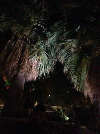 Agua Caliente Casino Resort Spa: Beautiful Palm Trees by the pool
