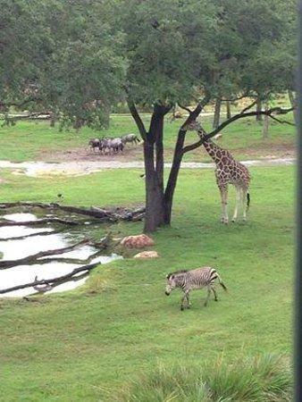 Disney's Animal Kingdom Lodge: hotel room balcony view!! amazing!!