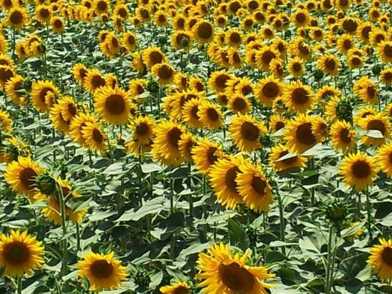 Toscana Saporita Cooking School : Yes, sunflowers are everywhere in June and July!