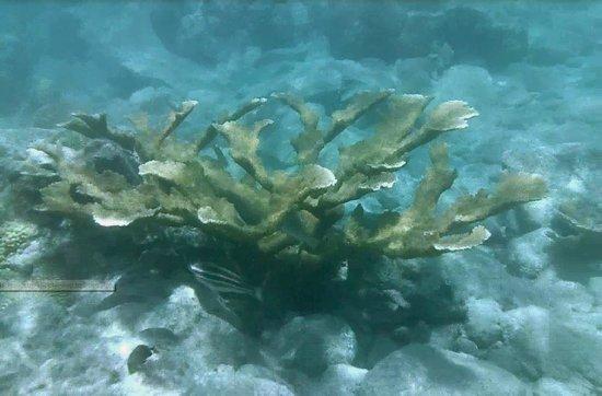 Coconut Coast Villas: More staghorn coral!