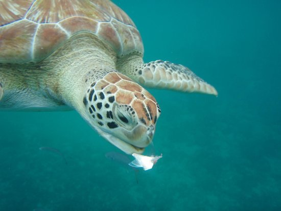Discovery Bay by Rex Resorts: Swimming with turtles