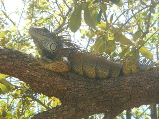 Arch's Iguana  and Marine Park: Beautiful creature