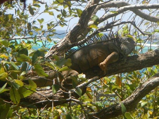 Arch's Iguana  and Marine Park: Iguana in the tree