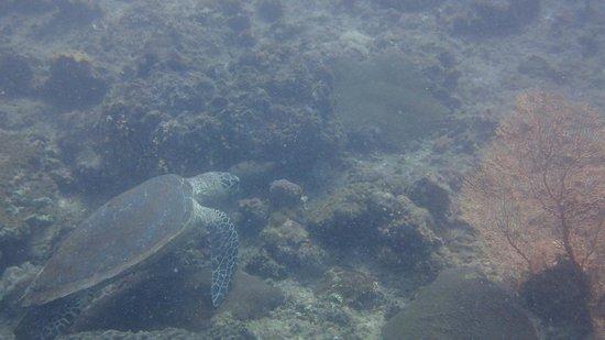 Phuket Dive Tours - Scuba Diving: turtle!