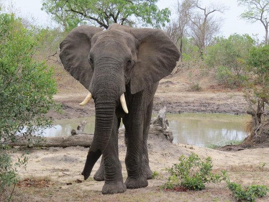 Elephant Plains Game Lodge: Wonderful game drives