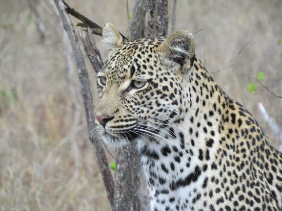 Elephant Plains Game Lodge: Leopards everywhere!