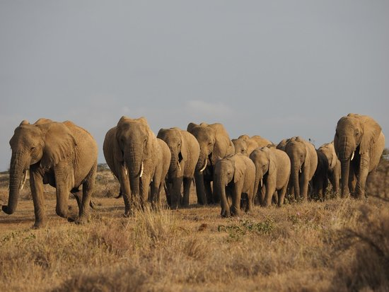 Laikipia Wilderness Camp : a herd of elephants passing nearby