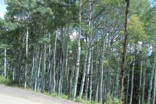 Aspen Trees, Kebler Pass