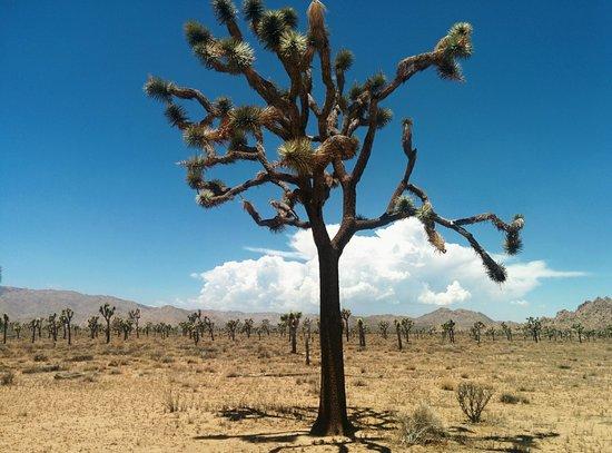 Joshua Tree National Park: JOSHUA TREE