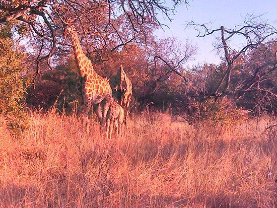 Ukutula Lion Park : Familia de Girafas