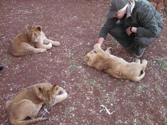 Ukutula Lion Park: Filhotes de leão com a guia