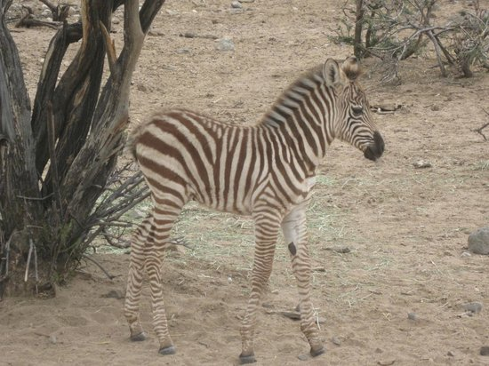 Out of Africa Wildlife Park: The new baby Zebra - William the Pest
