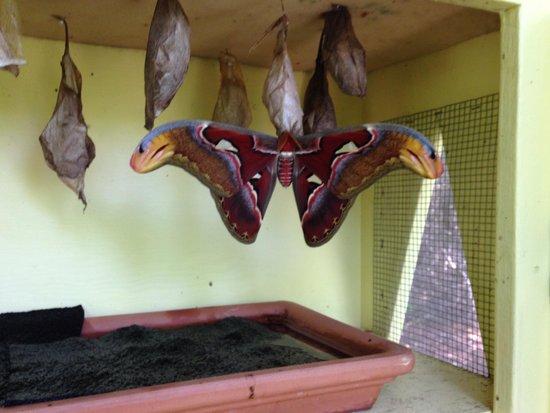 De Palm Tours : Atlas Moth
