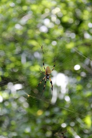 Wooten's Everglades Airboat Tour: It is a Banana spider