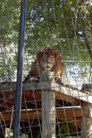 Turpentine Creek Wildlife Refuge: Lions