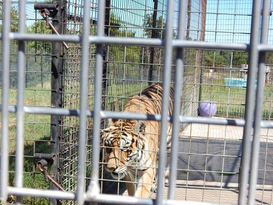 Turpentine Creek Wildlife Refuge: Tigers