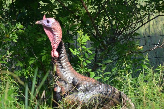 Hanover House : Wild turkeys in the fields