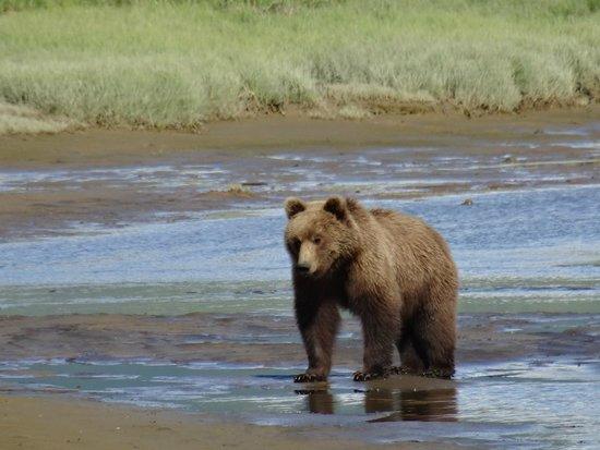 Sea Hawk Air: Hallo Bay Bear
