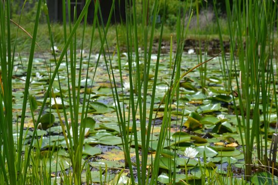 East Texas Arboretum & Botanical Society: Lilly pads