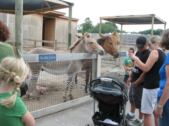"Creation Museum: Rare ""zonkey"" and ""Zorse"" at the zoo there...Look it up on-line!"