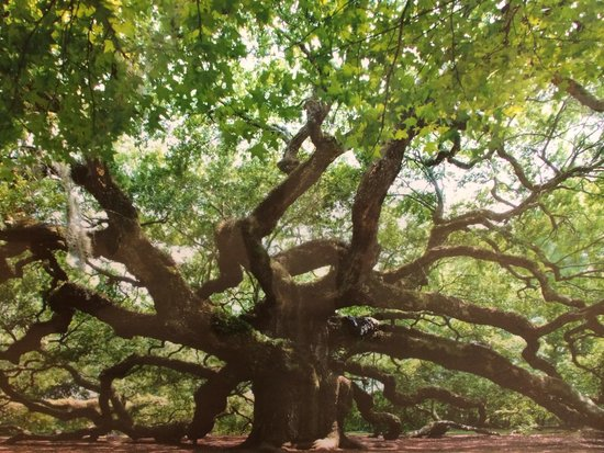 Angel Oak Tree : Massive canopy