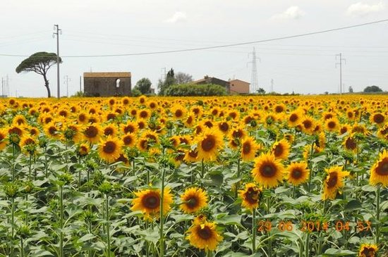 Private Tour in Italy by Domenico Iaccarino: Sunflower fields with farm house in Tuscany, Italy!