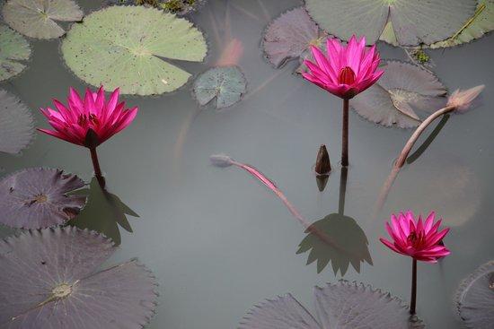 Battambang Resort : Flowers on the lake