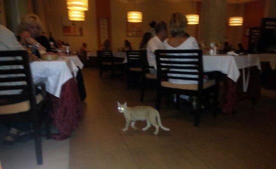 Royalton Cayo Santa Maria: Hello kitty kitty