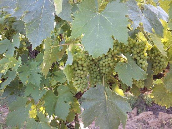 Casolare di Libbiano : Vineyards...