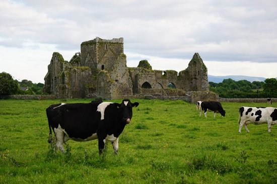 O'Briens Cashel Lodge : Hore Abbey and the cows are across the street