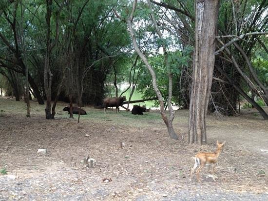 Bannerghatta Nature Camp: gaur and deers