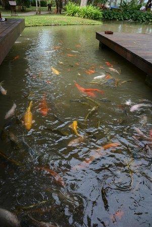The Tubkaak Krabi Boutique Resort: Koi fishes