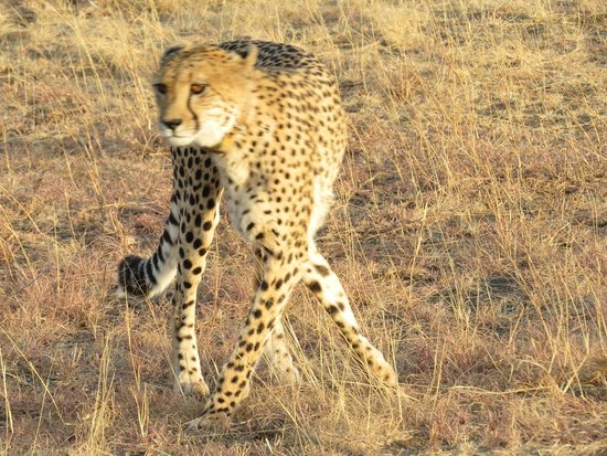Nambiti Game Conservancy: Cheetah