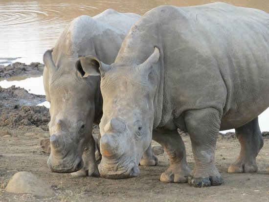 Nambiti Game Conservancy: Two young rhino's who were having a wonderful time playing - so amazing to see.