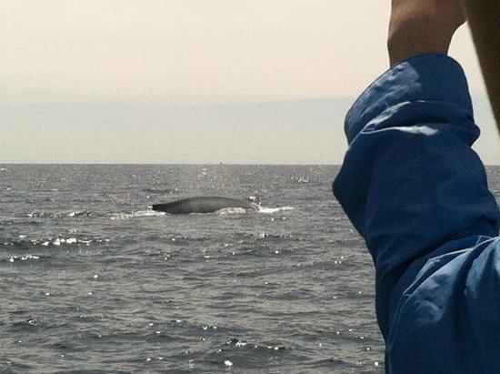 Dana Point, CA: blue whale