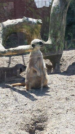 Welsh Mountain Zoo: Meerkats....simples