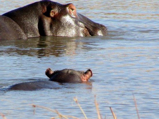 Springbok Lodge: hippo enjoying the cool water