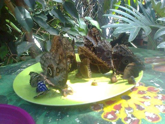 Jardin des Papillons : papillons poser sur une assiette