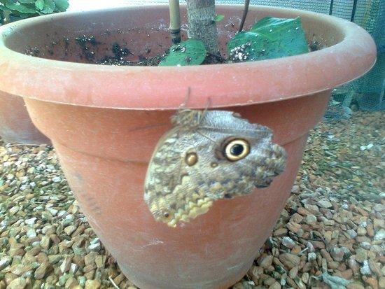 Jardin des Papillons : papillon yeux de chouette