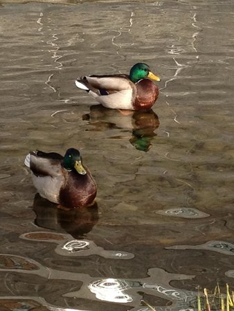Hudson River Park: Ducks!