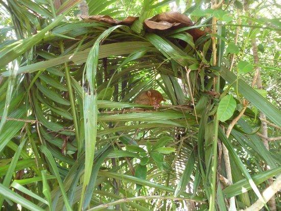 Tarsier Conservation Area: ลิง Tariers