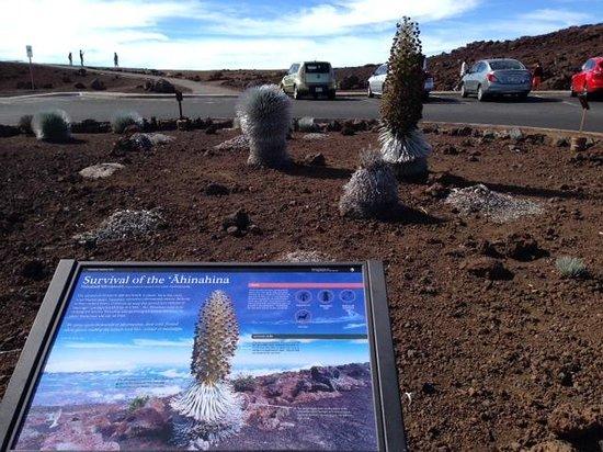 Haleakala Crater: растение-эндемик